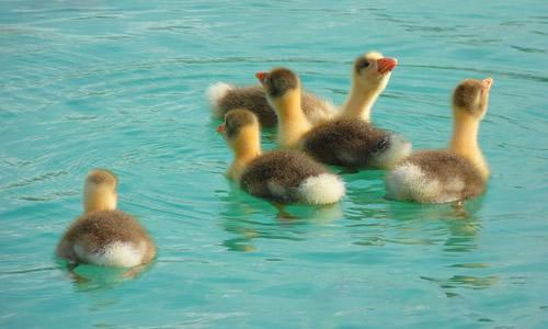goose-15030_640